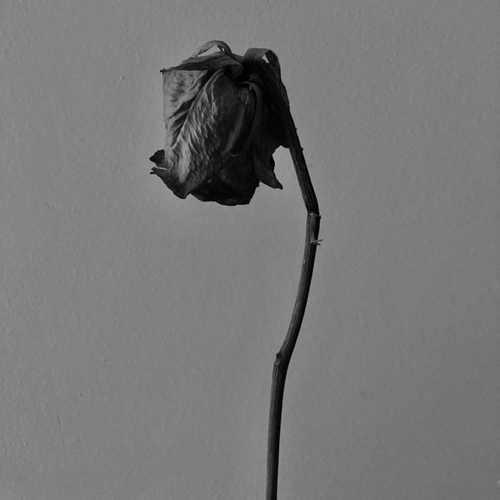 Derya Ağaç Yeni Boynu Bükülmüş Güllerinin Şarkısını İndir